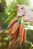 从庭院的新鲜的红萝卜 库存照片