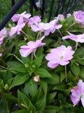 庭院的桃红色花 库存照片