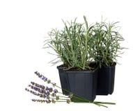 庭院的淡紫色-熏衣草属angustifolia被隔绝的 免版税库存照片