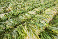 从庭院的烟草叶子 免版税图库摄影