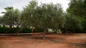 庭院的片段有橄榄树的在塞浦路斯的11月 影视素材