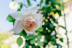 庭院的精美易碎的芽上升了 免版税库存照片