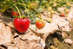 从庭院的草莓 免版税库存图片