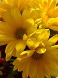 从庭院的黄色雏菊 免版税库存图片