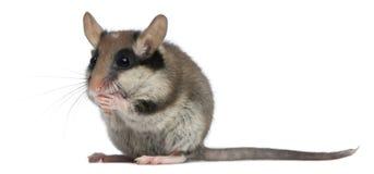 庭院睡鼠,Eliomys quercinus,2个月 图库摄影