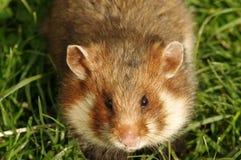 庭院睡鼠 免版税库存照片