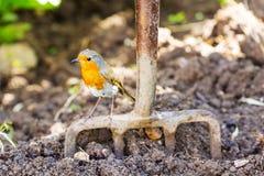 庭院站立在庭院叉子的罗宾有被开掘的土壤背景 库存照片