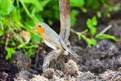 庭院站立在庭院叉子的罗宾有被开掘的土壤背景 免版税库存图片