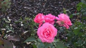庭院粉红色上升了 桃红色玫瑰在公园 股票录像