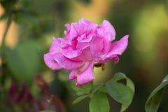 庭院粉红色上升了 免版税库存图片