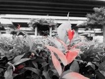 庭院红色 免版税库存照片