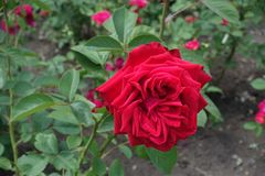 庭院绯红花上升了 库存照片