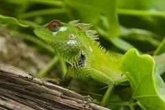 庭院绿色ii蜥蜴 免版税库存图片