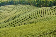 庭院绿茶 免版税库存照片