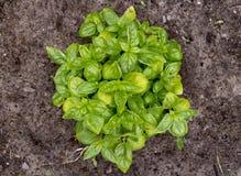 庭院罗勒属basilicum的蓬蒿有机植物 免版税库存图片
