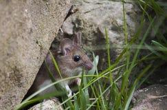 庭院老鼠 免版税图库摄影
