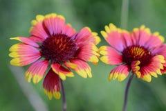 庭院花红色天人菊属植物 库存图片