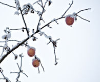 冻庭院苹果树分支  库存图片