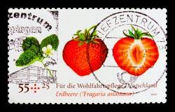 庭院草莓,草莓属ananassa,福利:结果实serie,大约2010年 免版税库存照片
