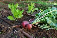 庭院莴苣萝卜蔬菜 库存图片
