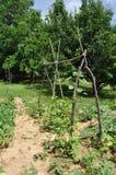 庭院蔬菜 库存照片