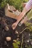 庭院蔬菜 库存图片