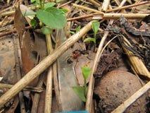 庭院蚂蚁 免版税库存图片