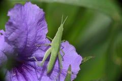 庭院蚂蚱虫蔬菜 免版税库存照片