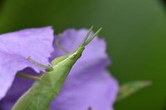 庭院蚂蚱虫蔬菜 库存图片