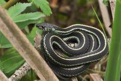 庭院蛇 免版税库存照片