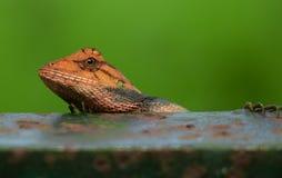 庭院蜥蜴东方人 库存图片