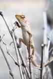 庭院蜥蜴 库存图片