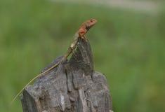 庭院蜥蜴 免版税库存照片