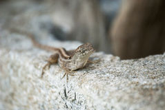 庭院蜥蜴 图库摄影