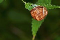 庭院螺旋大pomatia蜗牛 免版税库存照片