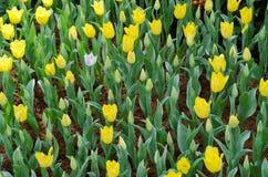 庭院郁金香黄色 库存图片