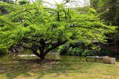 庭院金瓜结构树 库存图片