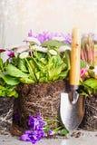 庭院铁锹和种植花与土壤和根 库存图片