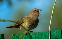 庭院鸣鸟 库存图片