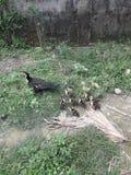 庭院鸭子 库存照片