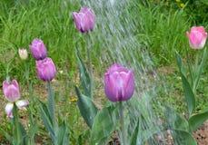 庭院,从事园艺,植物,花,自然,浇灌,绿色,春天,花,能,夏天,罐,水,喷壶,土壤, agricultu 免版税库存图片