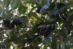 庭院,夏天,秋天,天,早晨,黑莓果,果子,绿色叶子,分支,布什,树,花揪,食物,维生素,健康食物 库存图片