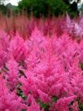 庭院: 桃红色落新妇属植物花边界 库存照片