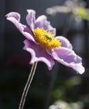 庭院-在黑暗的背景的紫罗兰色花 免版税库存照片