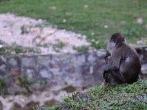 庭院猴子 库存照片