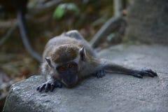 庭院猴子 免版税库存图片