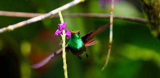 庭院绿宝石蜂鸟 图库摄影
