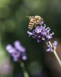 庭院-紫罗兰花和一只蜂在阳光下 库存图片