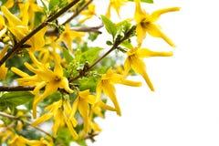 庭院黄色花布什Forzitsia。 库存图片