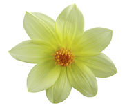 庭院黄色花,白色隔绝了与裁减路线的背景 特写镜头 免版税库存图片
